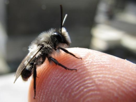 Andrena cineraria