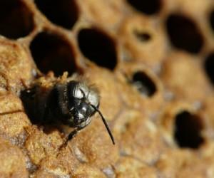 Naissance d'une abeille noire (Apis mellifera mellifera, Source : Wikipedia)