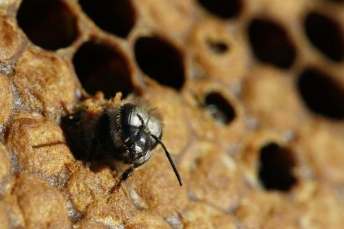 Adult Bee 111
