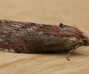 La Fausse teigne de la cire (Galleria mellonella) est un insecte lépidoptère de la famille des Pyralidae vivant en Europe. Elle est aussi appelée « gallérie » en France1. C'est la seule espèce du genre Galleria.