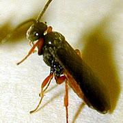<em>Microplitis croceipes</em>