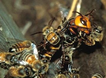 a chypre les abeilles touffent les frelons trop curieux 1 2 les belles histoires de l. Black Bedroom Furniture Sets. Home Design Ideas