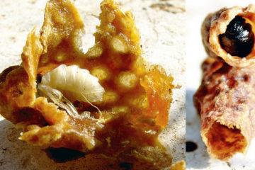 A gauche, cellule royale saine. A droite : cellule atteinte du virus de la reine noire.