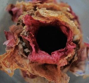 Un nid ouvert (© J.G.ROZEN, AMNH)