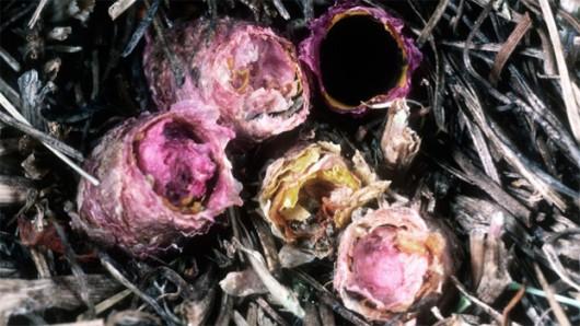 Une femelle peut construire une dizaine de nids côte-à-côte.(© J.G.ROZEN, AMNH)