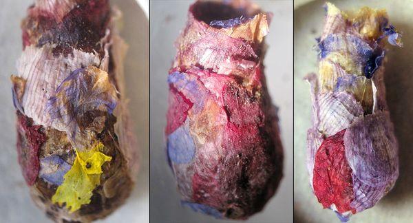 Diversité des couleurs.(© J.G.ROZEN, AMNH)